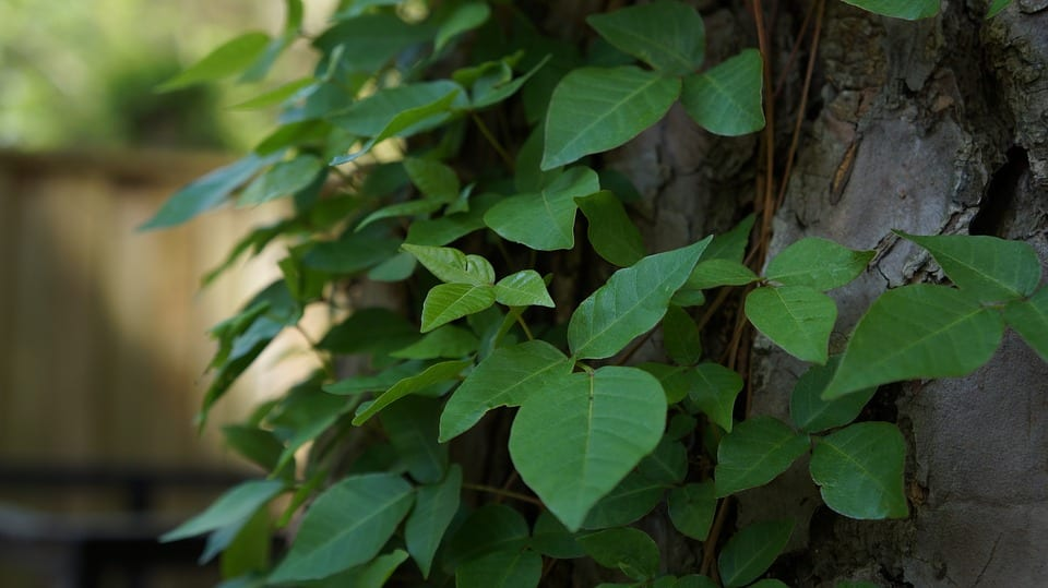 Poison Ivy Urgent Care Omaha | Summer Rashes Urgent Care Omaha